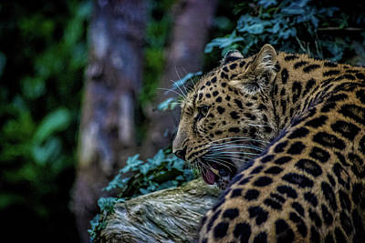 Bigcat Photograph - Amur Leopard by Martin Newman