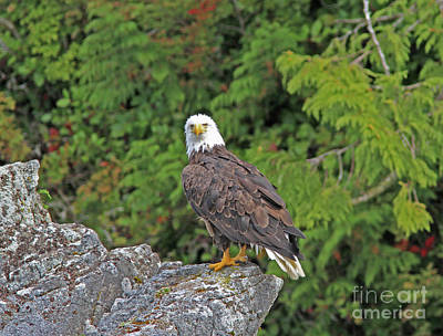 Photograph - Bald Eagle by Gary Wing