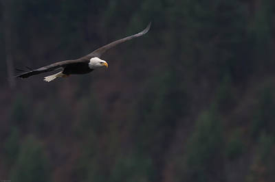Photograph - Bald Eagle by John Pavolich
