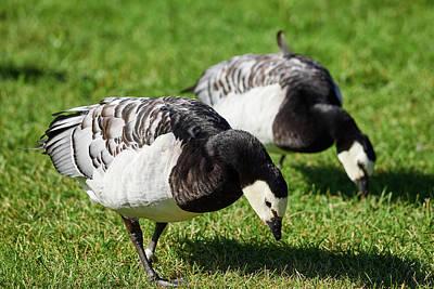 Photograph - Barnacle Goose by Jouko Lehto