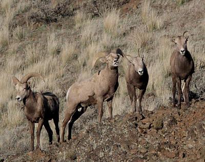 Rust Wall Art - Photograph - Big Horn Sheep by Gary Wing