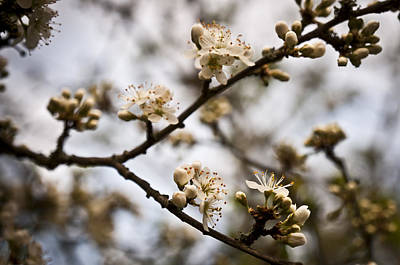 Photograph - Blackthorn Blossom by David Isaacson
