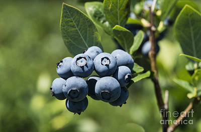 Blueberry Bush Art Print by John Greim