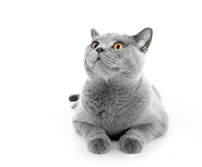 Cute Photograph - British Shorthair Cat Isolated On White. Lying by Michal Bednarek