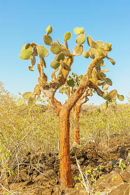 Vermeer Rights Managed Images - Cactus trees in Galapagos islands Royalty-Free Image by Marek Poplawski