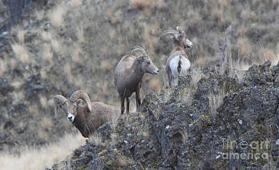 Black Photograph - California Big Horn Sheep by Gary Wing