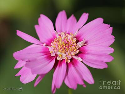 Photograph - Cosmos Named Pink Pop Socks by J McCombie