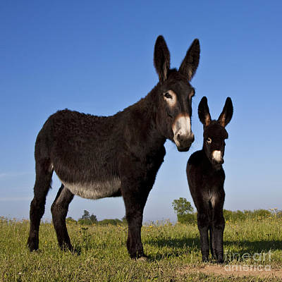 Donkey Foal Photograph - Donkey And Foal by Jean-Louis Klein & Marie-Luce Hubert