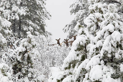 Steven Krull Royalty-Free and Rights-Managed Images - Elk in Deep Snow in the Pike National Forest by Steven Krull
