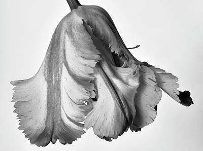 French Tulip Art Print by Robert Ullmann