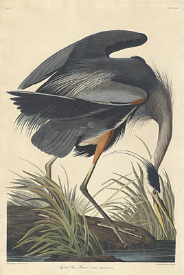 Painting - Great Blue Heron by John James Audubon