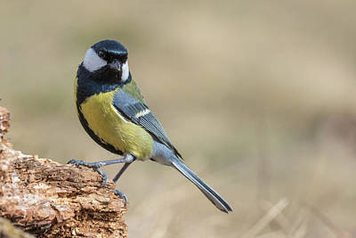 Photograph - Great Tit by Jivko Nakev