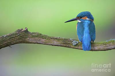 Kingfisher Photograph - Kingfisher by Corne Van Oosterhout