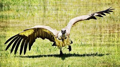 Photograph - large Cape vulture by Werner Lehmann