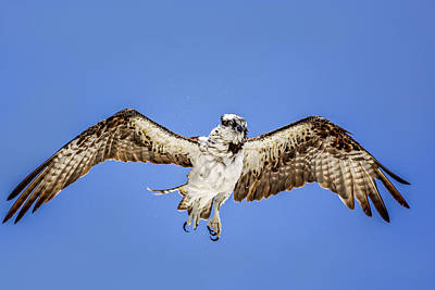 Photograph - Osprey by Peter Lakomy