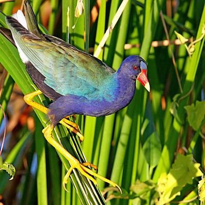 Photograph - Purple Gallinule by Ira Runyan