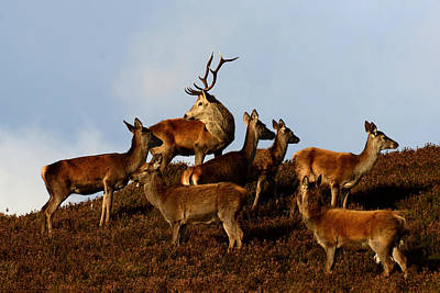 Photograph - Red Deer In The Highlands by Gavin MacRae
