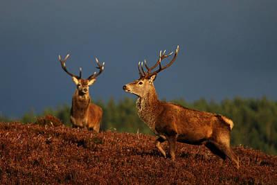 Beers On Tap - Red Deer Stags by Gavin MacRae