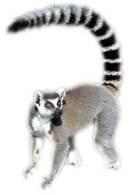Tail Photograph - Ring Tailed Lemur by George Atsametakis