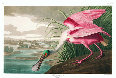 Spoonbill Wall Art - Painting - Roseate Spoonbill by John James Audubon