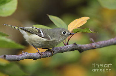 Ruby-crowned Kinglet Birds Photograph - Ruby-crowned Kinglet by Gary Wing