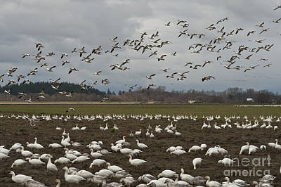 Photograph - Snow Geese Migration by Jim Corwin