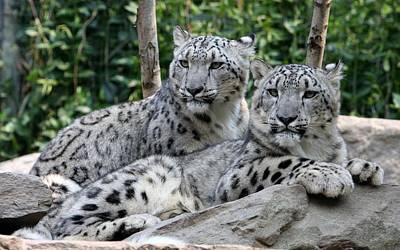 Cats Digital Art - Snow Leopard by Super Lovely