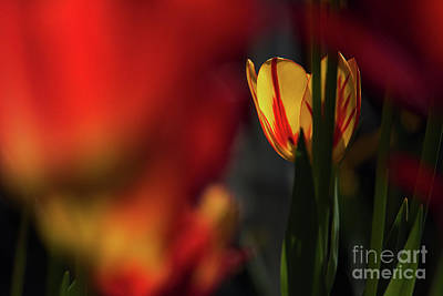 Photograph - Tulip by Odon Czintos