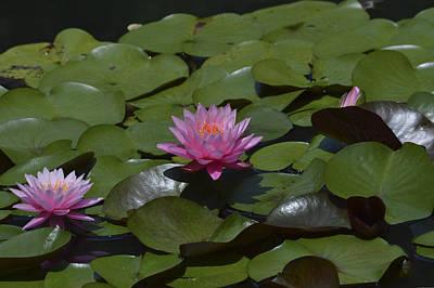 Water Lilies Art Print by Linda Geiger