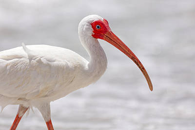 Photograph - White Ibis by Peter Lakomy