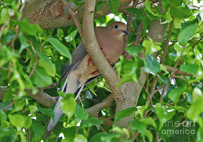 Photograph - 80- Mourning Dove by Joseph Keane