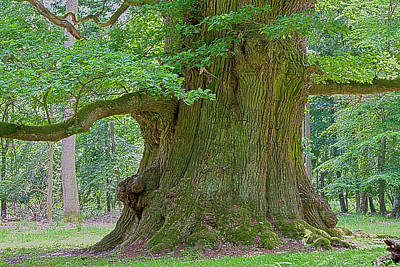 Primeval Photograph - 800 Years Old Oak Tree  by Heiko Koehrer-Wagner