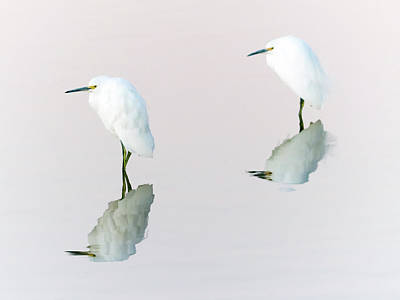 Photograph - Snowy Egrets by Tam Ryan
