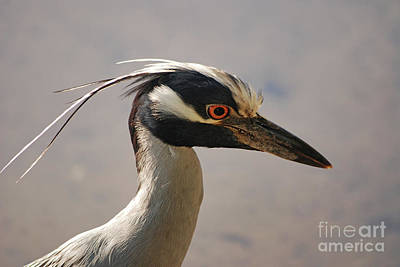 Photograph - 82- Yellow Crowned Night Heron by Joseph Keane