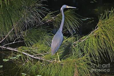 Photograph - 83- Great Blue Heron by Joseph Keane
