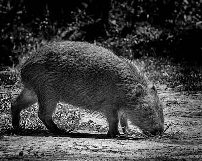 Photograph - 8342-capivara-campos Do Jordao-sp by Carlos Mac