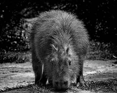 Photograph - 8344-capivara-campos Do Jordao-sp by Carlos Mac