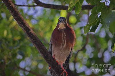 Photograph - 86- Green Heron by Joseph Keane