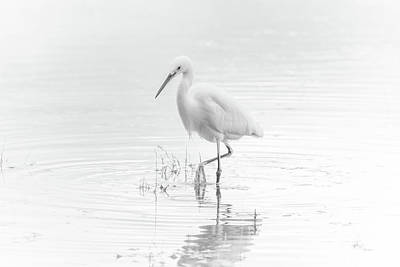 Photograph - Snowy Egret by Tam Ryan