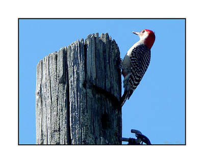 Photograph - #8668 Woodpecker by Barbara Tristan