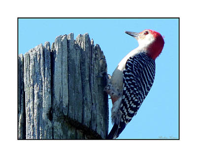 Photograph - #8669 Woodpecker by Barbara Tristan
