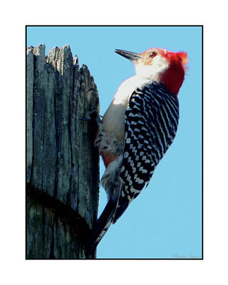 Photograph - #8671 Woodpecker by Barbara Tristan