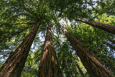 Photograph - #8732 - Redwoods by Heidi Osgood-Metcalf