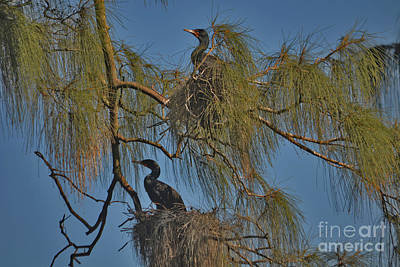 Photograph - 88- Cormorants Nesting by Joseph Keane