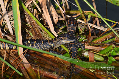 Photograph - 9- Alligator Hatchlings by Joseph Keane