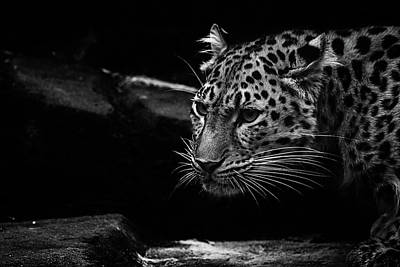 Snow Cat Photograph - Amur Leopard by Martin Newman