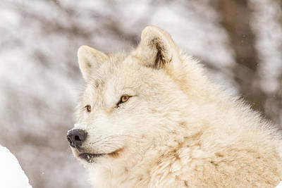 Photograph - Arctic Wolf by Josef Pittner