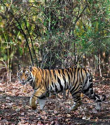 Bengal Tiger Panthera Tigris Tigris Art Print