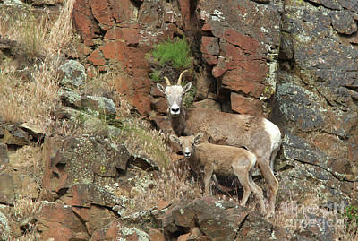 Photograph - Big Horn Sheep by Gary Wing