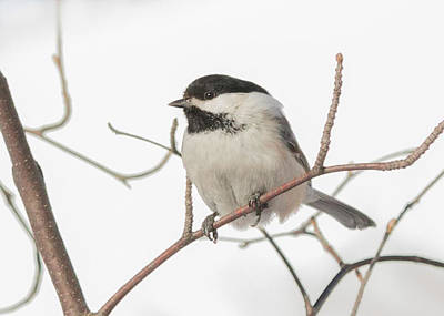 Black-capped Chickadee Art Print by Dee Carpenter